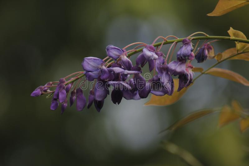 Purple wisteria flower is blossoming stock photo