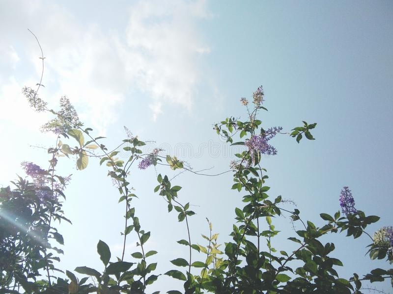 Purple Wreath, Queen`s Wreath, Sandpaper Vine, Bluebird Vine, Petrea volubilis flowers and tree. Sky background stock photography