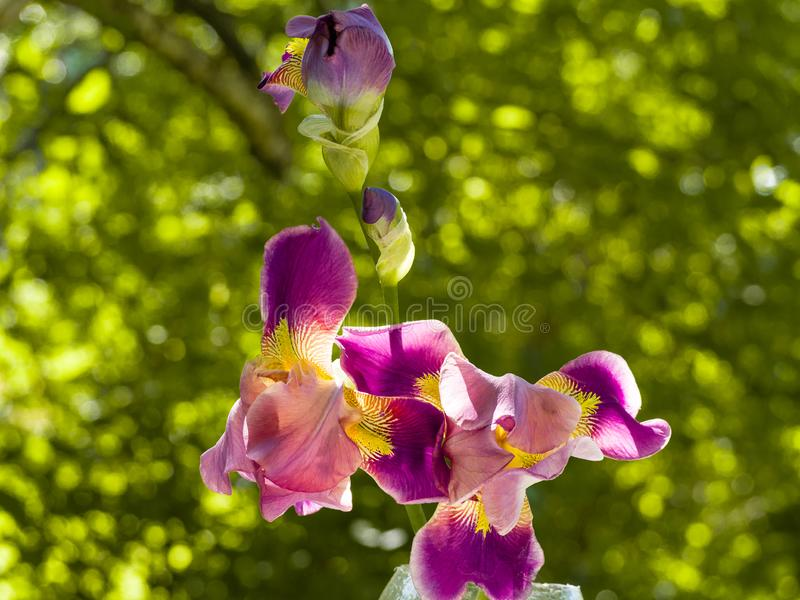 Purple and yellow bearded iris flower in bloom on dark green blurred bokeh background stock image