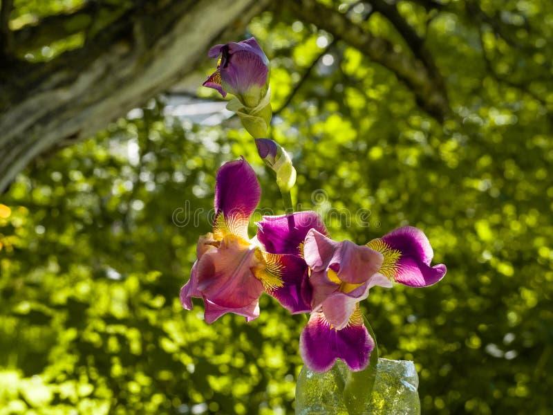 Purple and yellow bearded iris flower in bloom on dark green blurred bokeh background royalty free stock photo