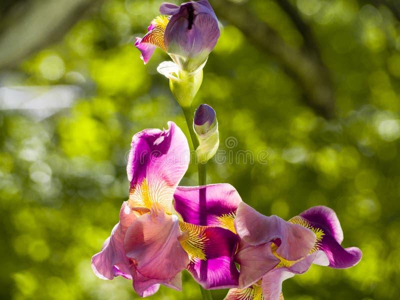 Purple and yellow bearded iris flower in bloom on dark green blurred bokeh background stock photo