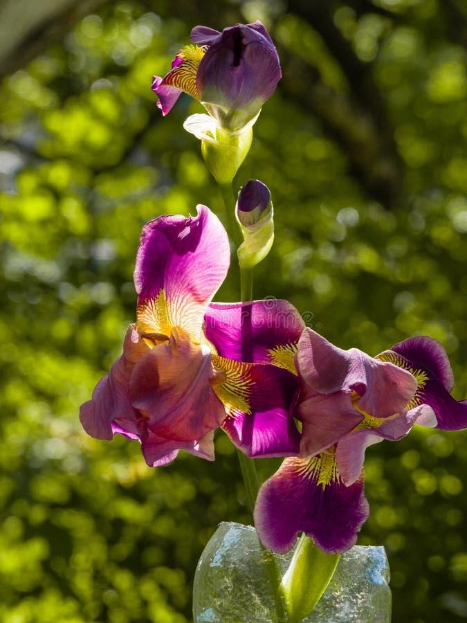 Purple and yellow bearded iris flower in bloom on dark green blurred bokeh background royalty free stock image