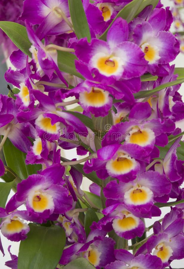 Purple and Yellow Dendrobium Orchid royalty free stock photos