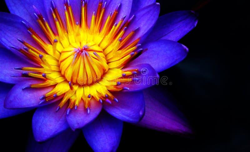 Purple yellow flower royalty free stock image
