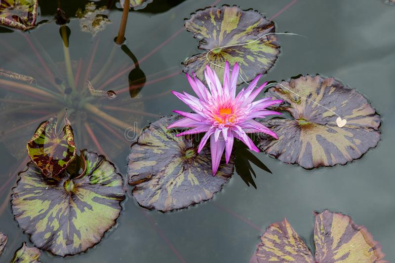 A purple and yellow flowering water lily Nymphaeain with green and brown leaves. stock photos