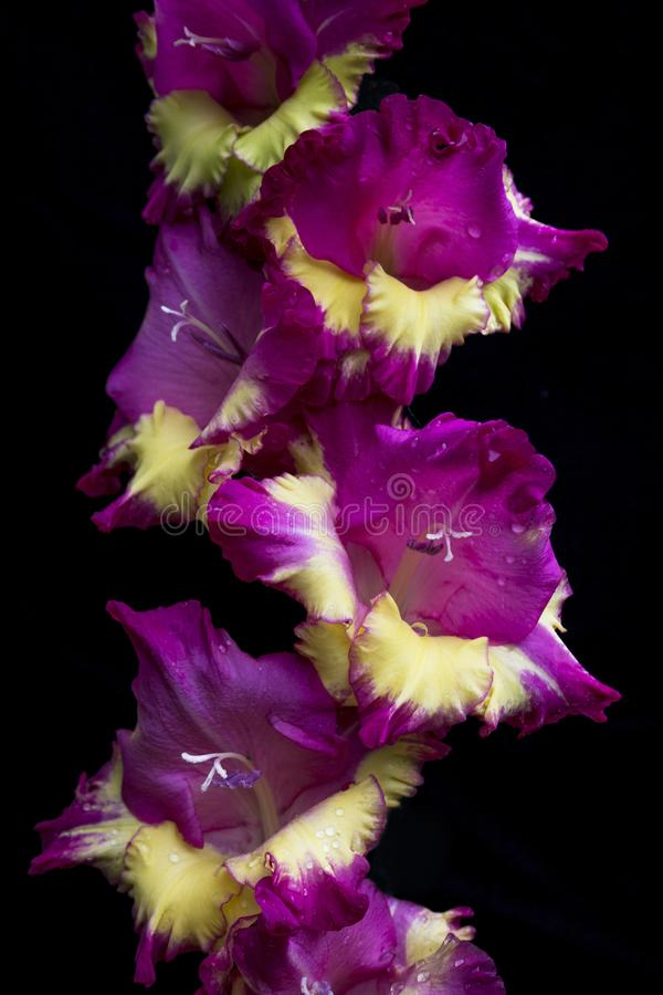 Purple and yellow Gladioli - sword lily - isolated against a black background in the garden royalty free stock image