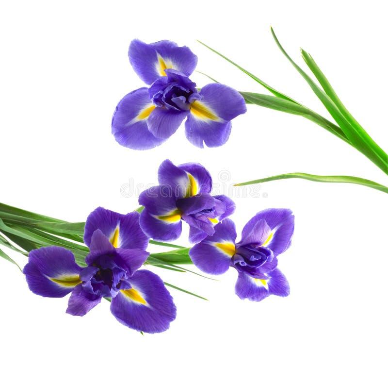 Purple and yellow iris royalty free stock photo