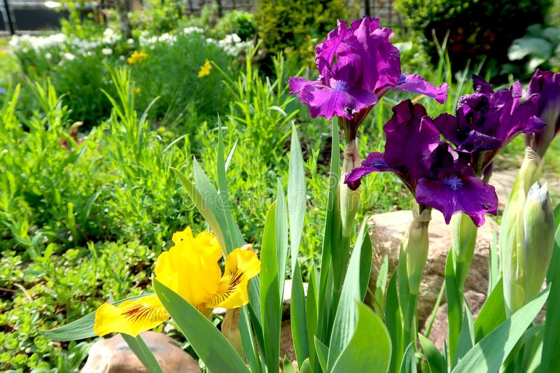 Purple and yellow iris flowers with blurred blooming garden in the background. Springtime in the garden royalty free stock image