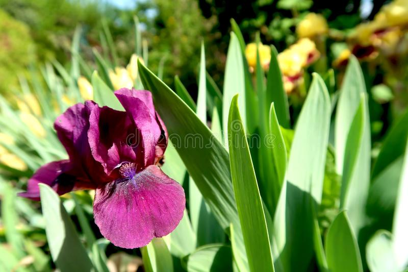 Purple and yellow iris flowers with blurred blooming garden in the background. Springtime in the garden stock photography