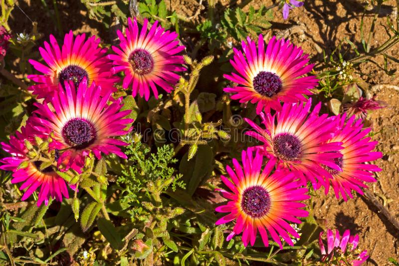 Purple and yellow Livingstone Daisy wildflowers. In West Coast National Park, South Africa stock image