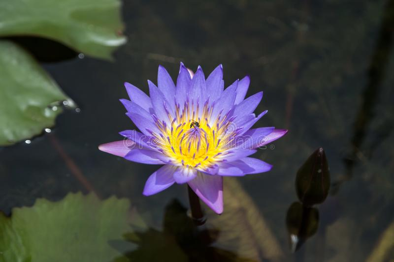 Purple and yellow lotus royalty free stock photography