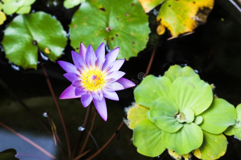 Purple and yellow lotus or water lily with huge green water leafs in dark pond. Flowers for Buddhism. From top view.  stock images