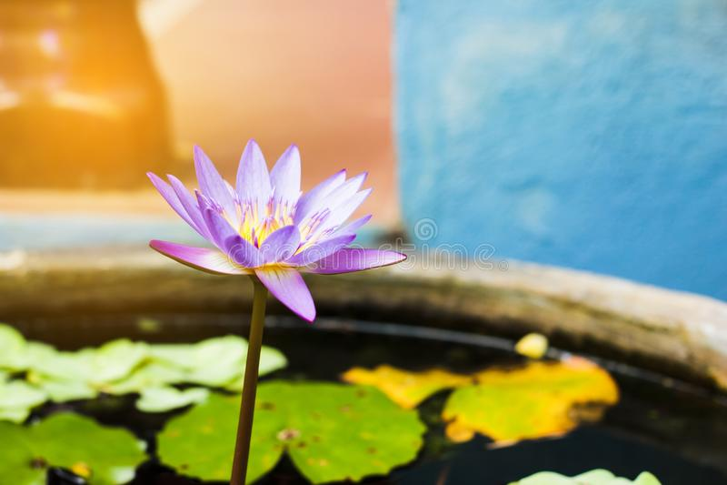 Purple and yellow lotus or water lily with huge green water leafs in dark pond. Flowers for Buddhism. From beside view royalty free stock photography