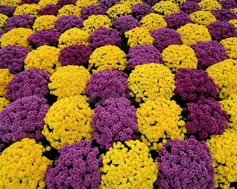 Purple & yellow mums stock photography