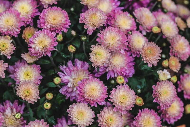 Purple And Yellow Mums Free Public Domain Cc0 Image