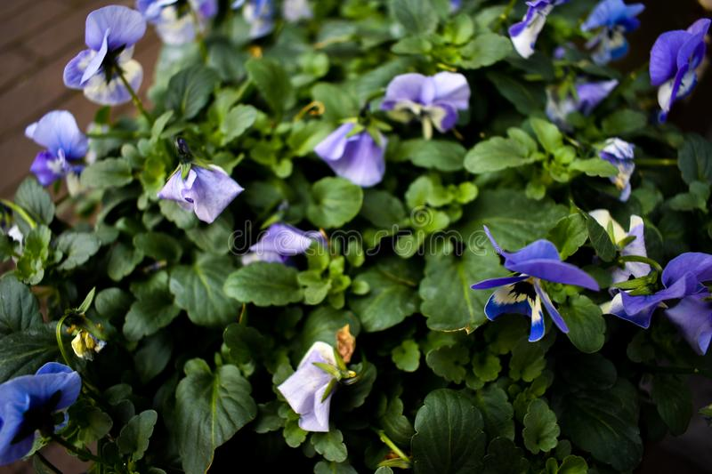 Purple Yellow Pot Flowers Beautiful Green Leaves Leaf Growing Bloom Focus Zoomed stock images