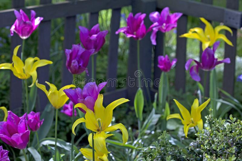 Purple and yellow tulips in the foreground of a fence royalty free stock images