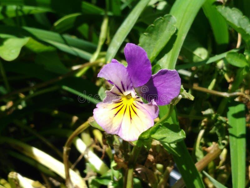 Purple yellow viola royalty free stock photos