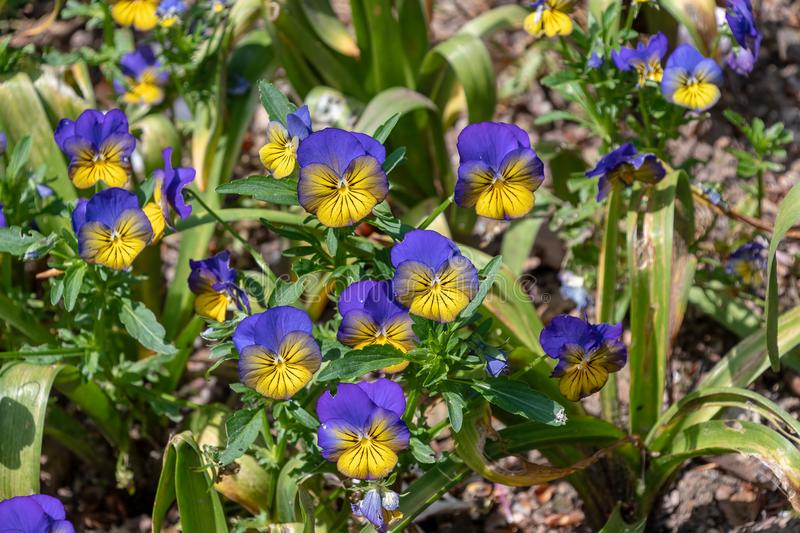 Purple and yellow viola flowers. In a garden royalty free stock photos