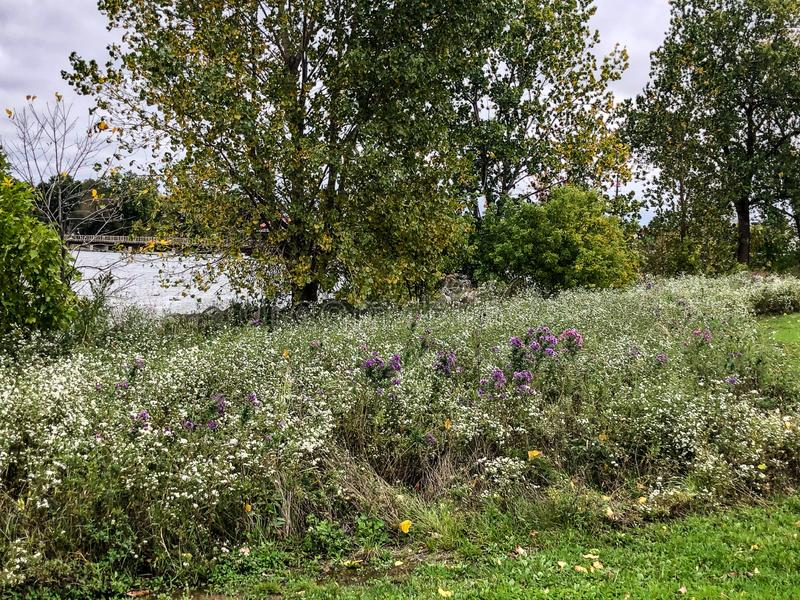 Purple, yellow and white wildflowers in meadow royalty free stock image