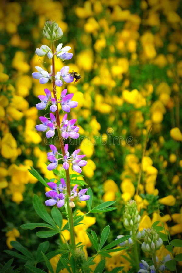 Purple And Yellow Wildflowers Stock Photo Image 40480744