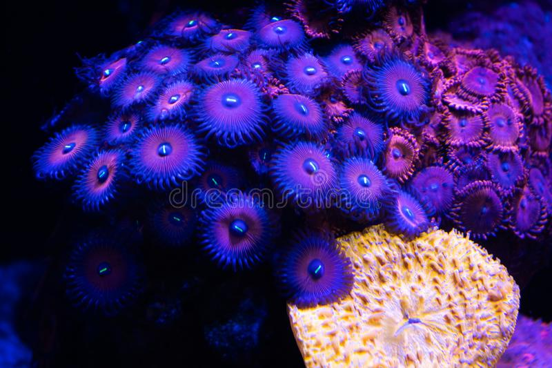 Purple zoa coral royalty free stock photography