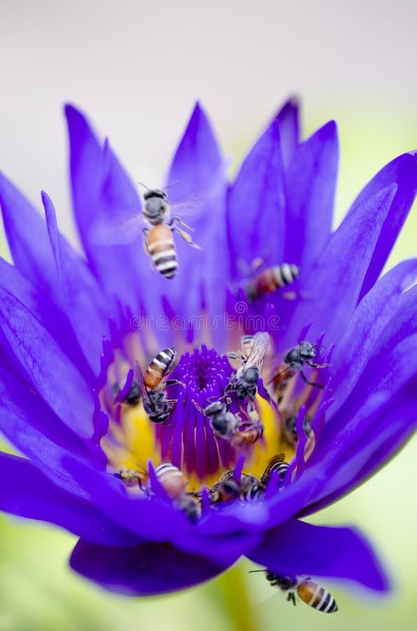 Purplee-Lotos-Blütenblühen stockbild