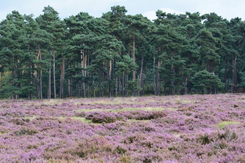 Nationaal Park de Hoge Veluwe. Purplehaze in September Nationaal Park de Hoge Veluwe in the Netherlands royalty free stock images