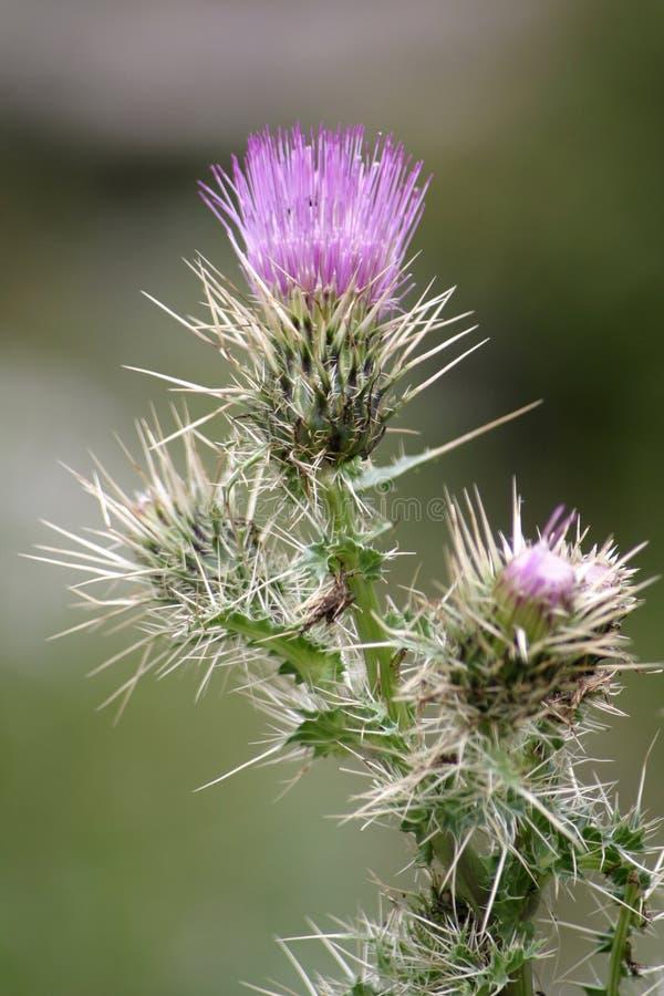purplethistle för 2 blomma royaltyfri fotografi