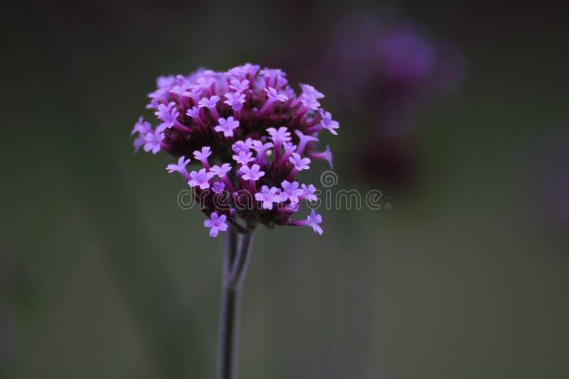 Purpletop Vervain stockfotografie