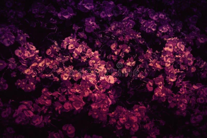 Purplish begonia Kwitnie tło fotografię fotografia royalty free
