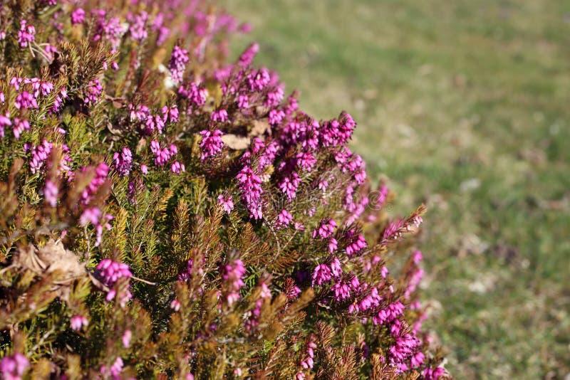 Purplish menchii lawendy kwiaty Fotografujący w Nyon zdjęcia stock