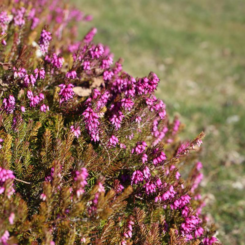 Purplish Pink Lavender Flowers Photographed in Nyon royalty free stock photography