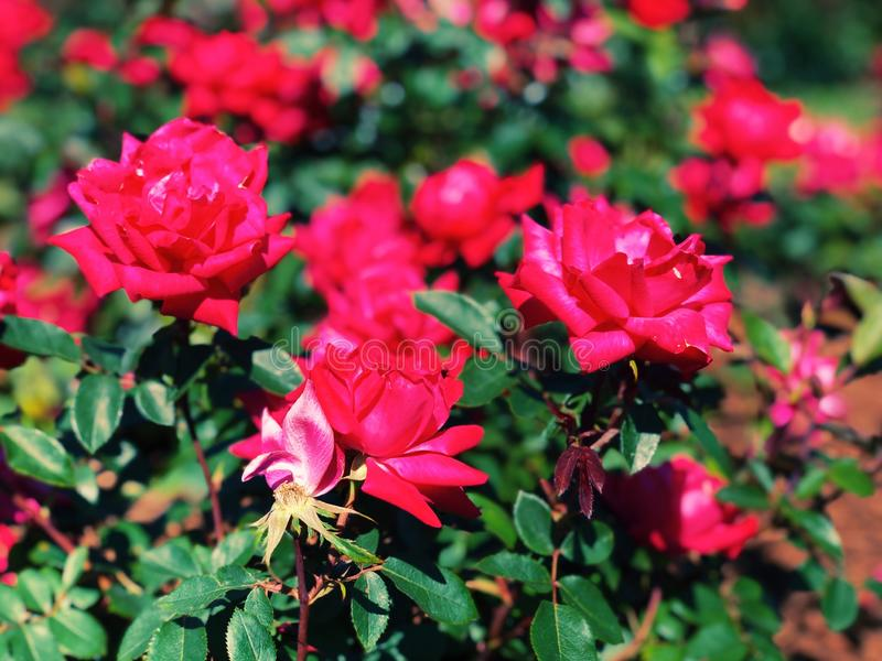 Purplish red roses flowers blooming inside Elizabeth Park. A bush of red roses flowers blooming in summer inside Elizabeth Park rose garden in New England West stock images