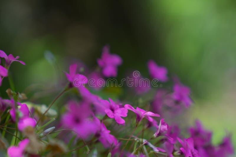 Purpur blüht weichen Farbhintergrund stockbild
