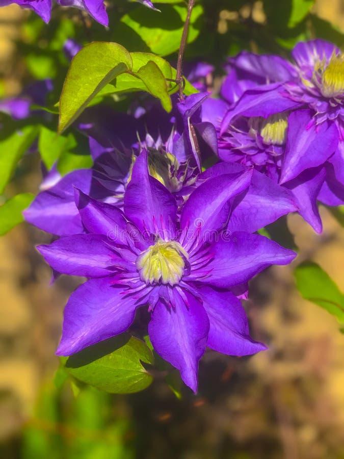 Purpur clematis royaltyfri bild