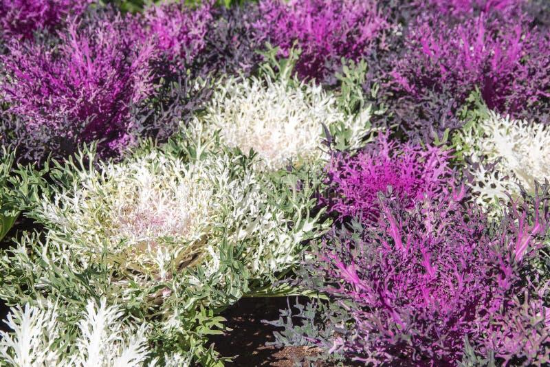 Purpur i białych Ornamentacyjne kapust rośliny w kwiatu garnku przy Doi obraz stock