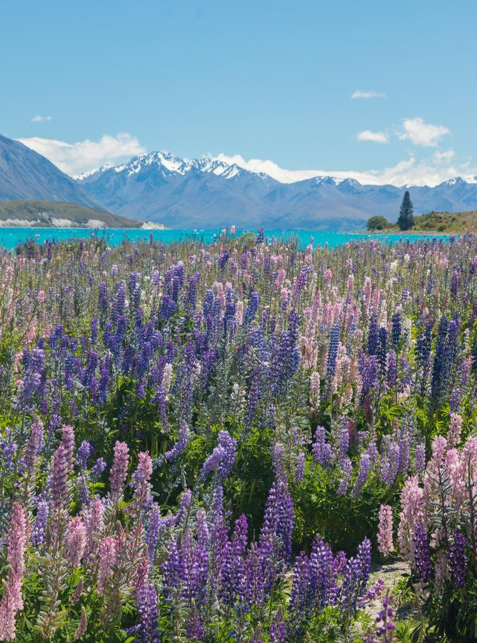 Purpur i menchii łubiny obok jaskrawy błękitnego nawadniają Jeziorny Pukaki, ważna atrakcja turystyczna na Nowa Zelandia ` s Połu obrazy royalty free