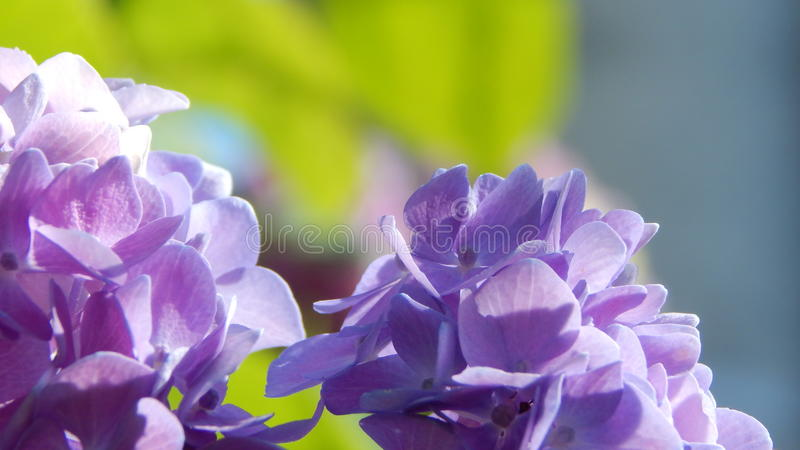 Purpur i menchii Hortensia zdjęcia stock