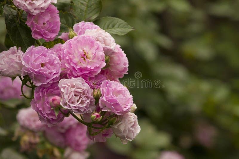 Purpur i menchii róża, romantyczna wzrastał zdjęcie royalty free