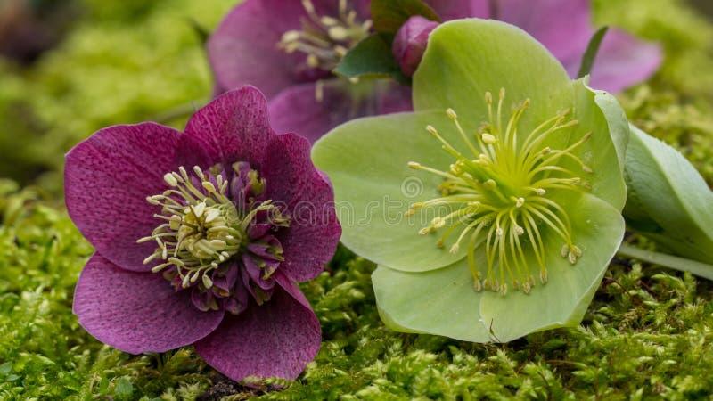 Purpur i zieleni helleborus makro- zdjęcia royalty free