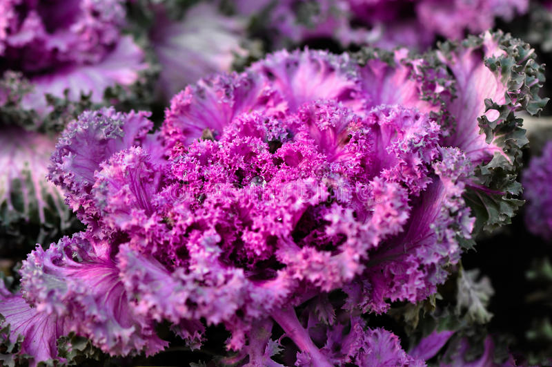 Purpur Kale royaltyfri bild