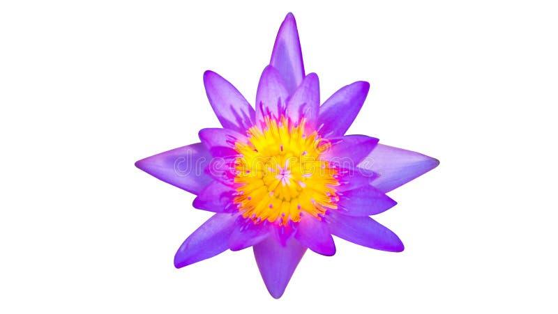 Purpur lotusblommablomma på vit bakgrund royaltyfria bilder