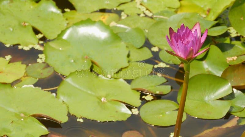 Purpur menchie nawadniają Nymphaea w stawie z fontanną ogrodowa woda piękny kwiat Wietnam obraz stock