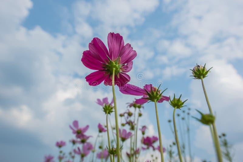 Purpur menchii koloru kosmosu kwiaty patrzeją do niebieskiego nieba obrazy royalty free