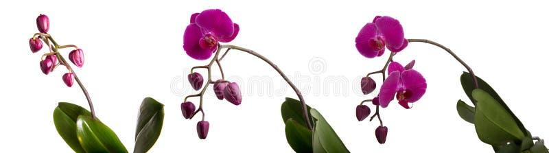 Purpur phalaenopsisorchid royaltyfria bilder