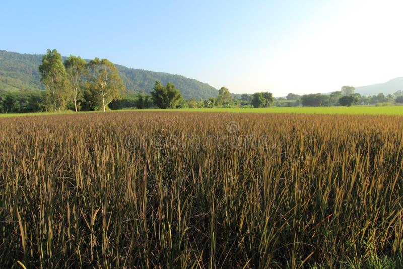 purpur rice arkivbilder
