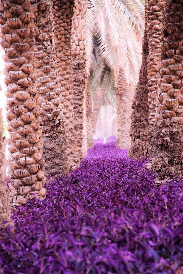 Purpur rośliny w Dubaj zatoczce fotografia royalty free