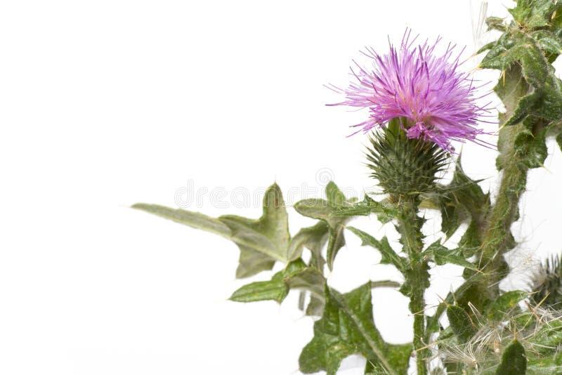 purpur scotch thistle för blomma fotografering för bildbyråer
