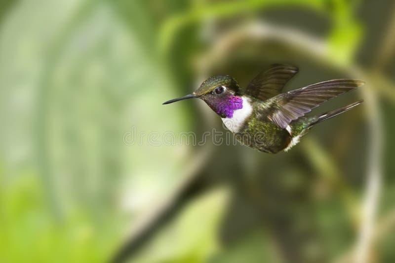 Purpur-throated Woodstar Hummingbird i flyg fotografering för bildbyråer